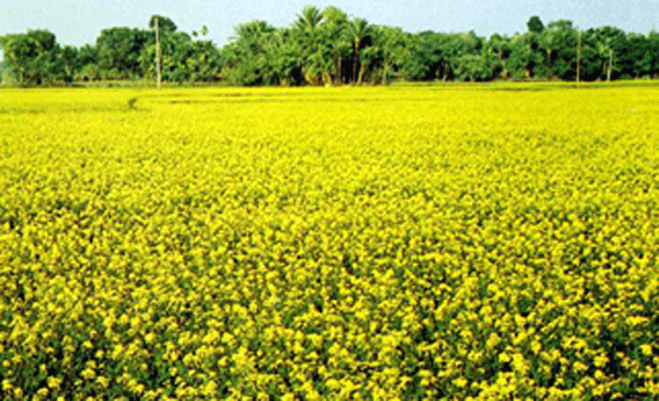 Edible Oil Plants : How to start a mini mustard oil plant manufacturer of