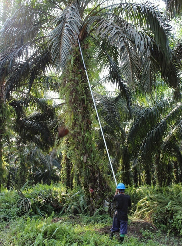 palm oil harvester at work